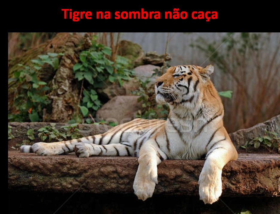 """Foto do Tigre para representar que o tigre de """"barriga cheia"""" não corre atrás da caça. Está na Zona de Conforto"""